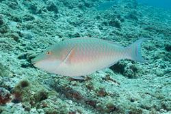 BD-150425-Maldives-8524-Hipposcarus-harid-(Forsskål.-1775)-[Candelamoa-parrotfih].jpg